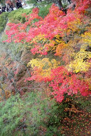 題『楓の衣替え』…緑葉、黄葉、紅葉が混在
