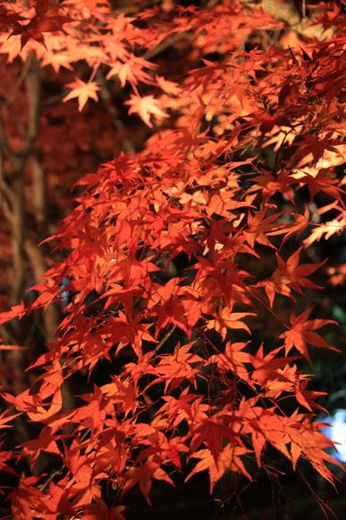 赤々しく鮮やかな紅葉