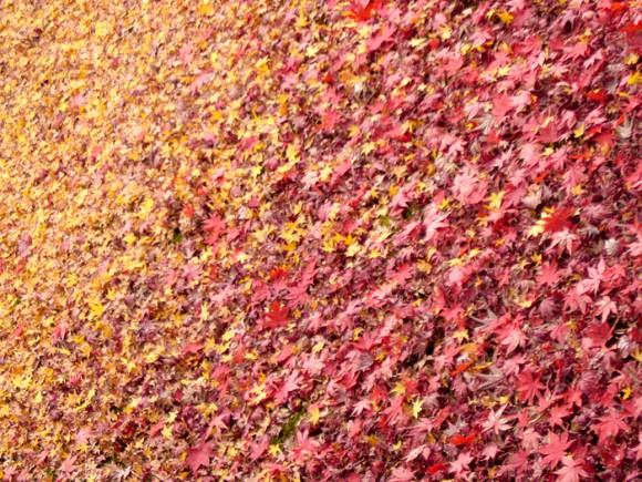 題『楓じゅうたん』…落ち葉の黄色と赤の境に美を感じました