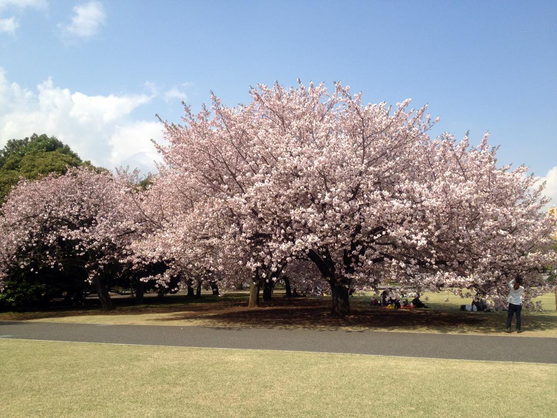 綺麗な桜の大木ですね