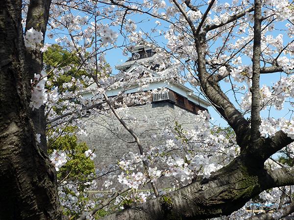 桜並木の合間に見える天守閣