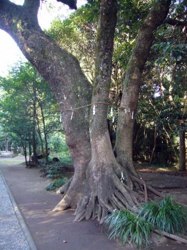 参道途中にある「御神木」